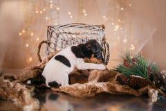 Perrito del fox terrier del juguete de la raza del perro Imagen de archivo libre de regalías