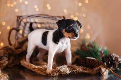 Perrito del fox terrier del juguete de la raza del perro Fotografía de archivo