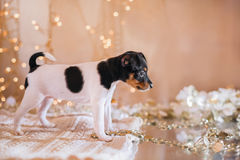 Perrito del fox terrier del juguete de la raza del perro Foto de archivo