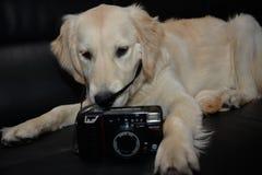 Perrito del golden retriever con la cámara Foto de archivo libre de regalías