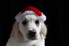 Perrito del golden retriever con un sombrero de Papá Noel Imagen de archivo libre de regalías