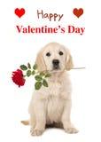 Perrito del golden retriever con una rosa roja y un día feliz del ` s de la tarjeta del día de San Valentín imagenes de archivo
