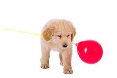 Perrito del golden retriever que juega con el globo Foto de archivo libre de regalías