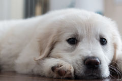 Perrito del golden retriever que se acuesta Foto de archivo