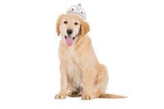 Perrito del golden retriever que se sienta con la corona que mira isola recto Imágenes de archivo libres de regalías