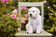 Perrito del golden retriever que se sienta en una silla fotografía de archivo libre de regalías