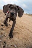 Perrito del gran danés en la playa Imagen de archivo