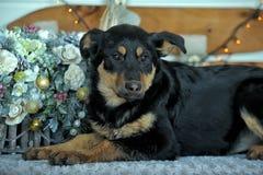 Perrito del híbrido de Rottweiler Imagen de archivo libre de regalías