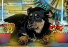 Perrito del híbrido de Rottweiler Fotos de archivo