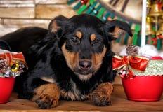 Perrito del híbrido de Rottweiler Foto de archivo libre de regalías