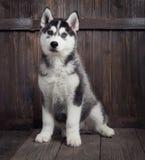 Perrito del husky siberiano en el fondo de madera Foto de archivo libre de regalías