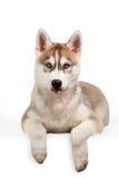 Perrito del husky siberiano que muestra la lengua Foto de archivo libre de regalías