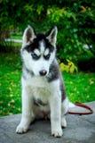 Perrito del husky siberiano que se sienta en el parapeto Foto de archivo