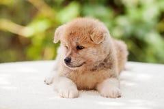Perrito del inu de Akita Foto de archivo libre de regalías