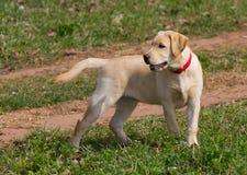 Perrito del labrador retriever Fotografía de archivo