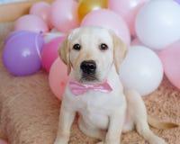 Perrito del labrador retriever con el arco rosado Imagen de archivo