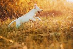 Perrito del labrador retriever en la yarda en el salto del bosque fotos de archivo