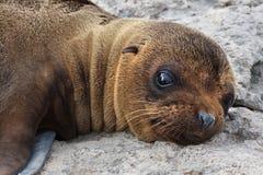 Perrito del león de mar Fotografía de archivo libre de regalías