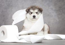 Perrito del Malamute con un tejido Fotografía de archivo