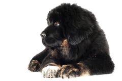 Perrito del mastín tibetano Imagen de archivo