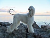 Perrito del Mirada-perro en perfil en orilla del lago de los cantos rodados fotos de archivo libres de regalías
