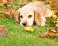 Perrito del otoño Imágenes de archivo libres de regalías
