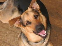 Perrito del pastor alemán Foto de archivo libre de regalías