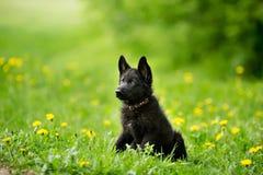 Perrito del pastor alemán del color negro El sentarse en el césped mirada Fotos de archivo