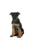 Perrito del pastor alemán del negro y del tan Foto de archivo