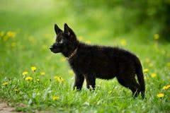 Perrito del pastor del color negro El sentarse en el césped Mirada a Foto de archivo libre de regalías