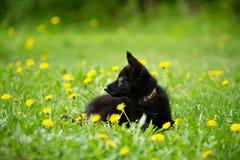 Perrito del pastor del color negro Mentira en la hierba mirada a t Imagen de archivo libre de regalías
