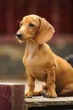 Perrito del perro basset Imagen de archivo