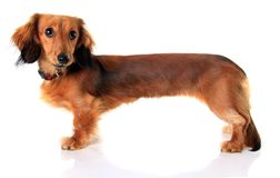 Perrito del perro basset Fotos de archivo