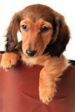Perrito del perro basset Foto de archivo libre de regalías