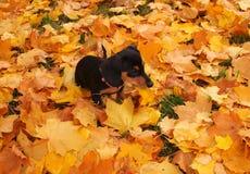 Perrito del perro basset Foto de archivo