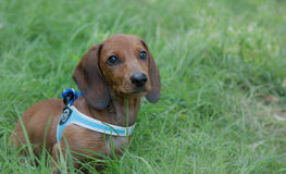 Perrito del perro basset Imagen de archivo libre de regalías