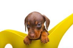 Perrito del perro basset con los accesorios del jardín Imágenes de archivo libres de regalías
