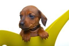 Perrito del perro basset con los accesorios del jardín Fotografía de archivo libre de regalías