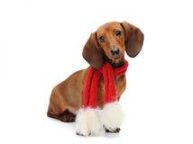 Perrito del perro basset con una bufanda de la Navidad Fotografía de archivo