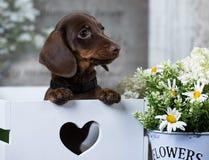 Perrito del perro basset y manzanilla de las flores Imagen de archivo libre de regalías