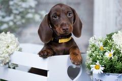 Perrito del perro basset y manzanilla de las flores Foto de archivo
