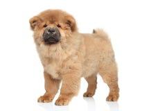 Perrito del perro chino de Chow foto de archivo