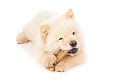 Perrito del perro chino de Chow con el hueso aislado Imagen de archivo
