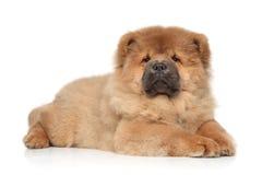 Perrito del perro chino de Chow que miente en el fondo blanco Foto de archivo