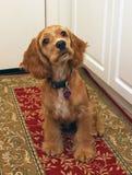 Perrito del perro de aguas de cocker Imagen de archivo
