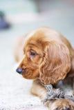 Perrito del perro de aguas de cocker fotografía de archivo libre de regalías