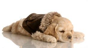 Perrito del perro de aguas de cocker imagen de archivo libre de regalías