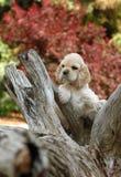 Perrito del perro de aguas de cocker en el parque Imágenes de archivo libres de regalías