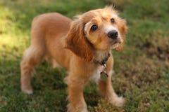 Perrito del perro de aguas de cocker en luz del sol Imágenes de archivo libres de regalías