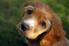 Perrito del perro de aguas de cocker en luz del sol foto de archivo libre de regalías